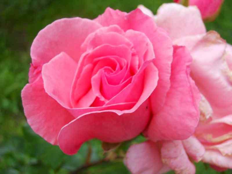 Rosa 'Centenaire de Lourdes' 3
