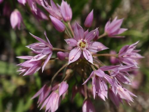 Allium 03