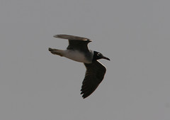 White-eyed Gull, Eilat, IL 2007_06_15 010.jpg