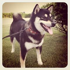 始めての散歩コースに興奮する柴犬