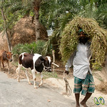 Greens and Cows - Najirpur, Bangladesh