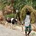 Greens and Cows - Najirpur, Bangladesh