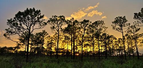 trees sunset fern nature pine florida