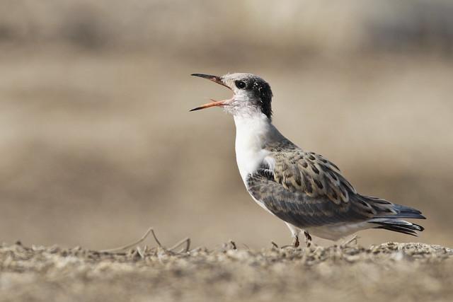 Little White-cheeked Tern  صغير الخرشنة بيضاء الخد