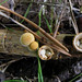 Common Bird's-Nest - Photo (c) Kari Pihlaviita, some rights reserved (CC BY-NC)