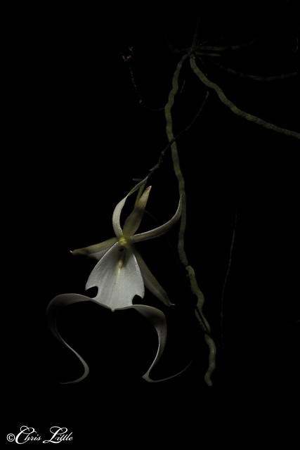 Big Cypress Ghost Orchid #7