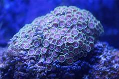 animal(0.0), coral reef fish(0.0), aquarium lighting(0.0), coral reef(1.0), coral(1.0), organism(1.0), marine biology(1.0), macro photography(1.0), stony coral(1.0), marine invertebrates(1.0), underwater(1.0), reef(1.0), sea anemone(1.0),