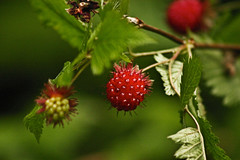 blackberry(0.0), evergreen(0.0), shrub(0.0), strawberries(0.0), flower(0.0), rose hip(0.0), hawthorn(0.0), berry(1.0), plant(1.0), macro photography(1.0), wine raspberry(1.0), flora(1.0), produce(1.0), fruit(1.0), food(1.0), salmonberry(1.0),