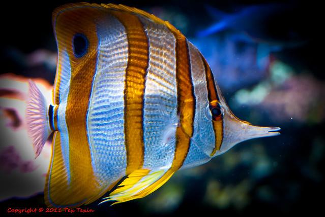 White orange striped fish at Monterey Aquarium | Explore ...