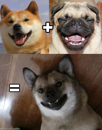 shiba-inu-pug-cross-breed.jpg