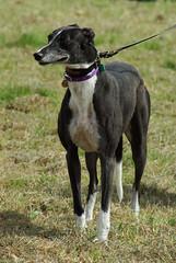 dog sports(0.0), animal sports(0.0), sports(0.0), patterdale terrier(0.0), dog breed(1.0), animal(1.0), hound(1.0), dog(1.0), whippet(1.0), galgo espaã±ol(1.0), pet(1.0), lurcher(1.0), greyhound(1.0), carnivoran(1.0), terrier(1.0),