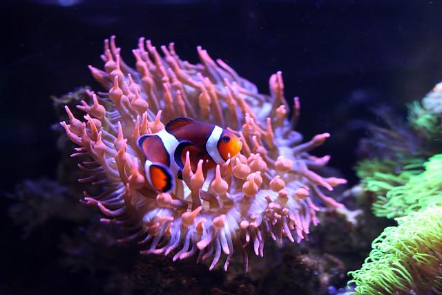 Ocellaris clownfish anemone - photo#17