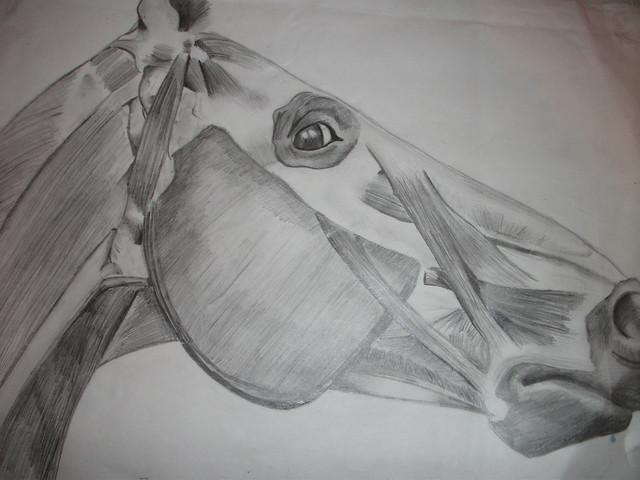 Horse Head Anatomy Sketch