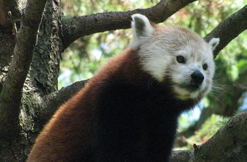 one hot red panda