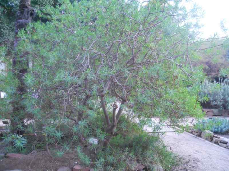Euphorbia dendroides 1