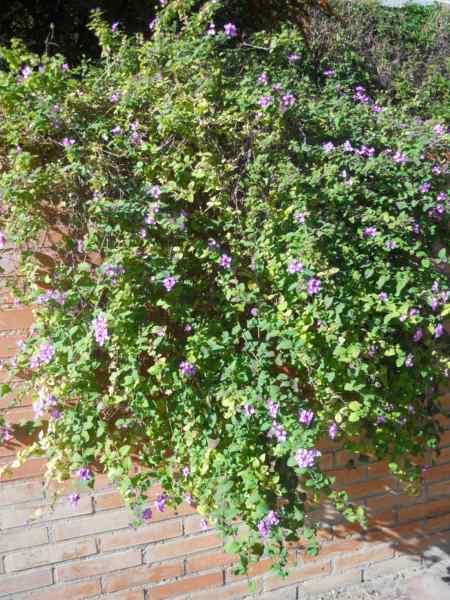 Lantana montevidensis 'Violet' v 2
