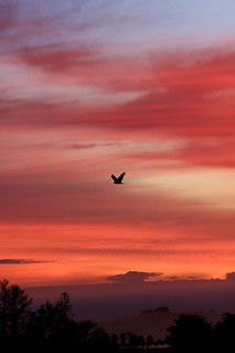 My resident harrier hawk against a winter sunrise - from my house