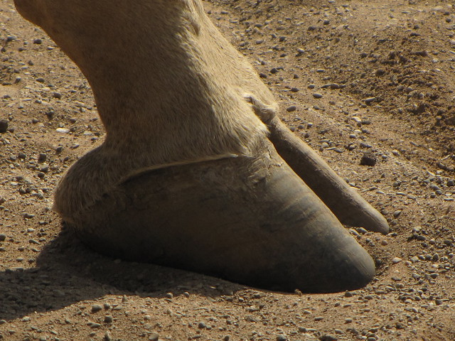 Giraffe (Giraffa camelopardalis) foot | Flickr - Photo ... Animalia
