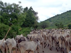 grazing(0.0), goatherd(0.0), cattle-like mammal(1.0), animal(1.0), mammal(1.0), herd(1.0), cattle(1.0), pasture(1.0), rural area(1.0),