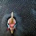 Helmeted guineafowl. .