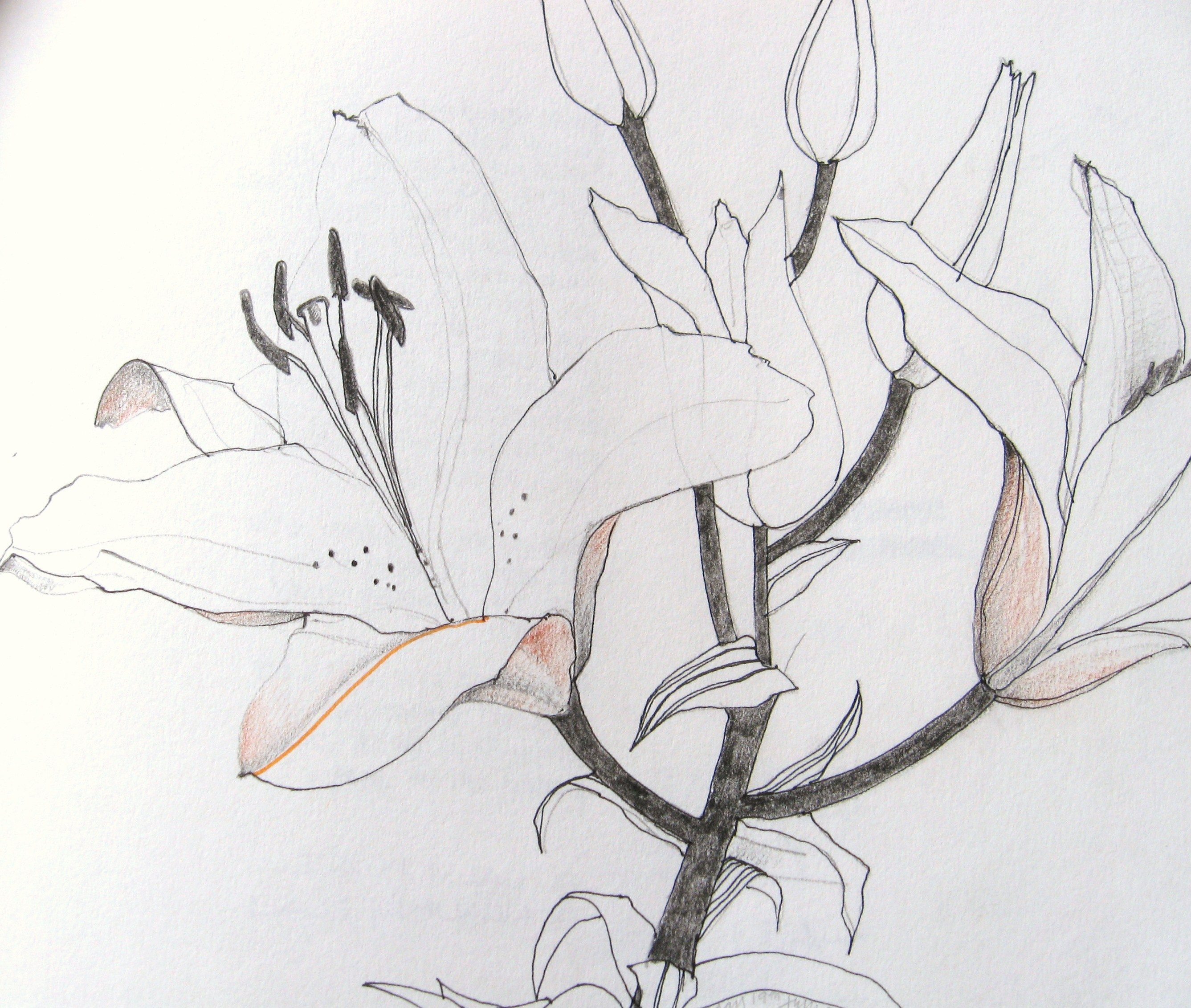 Lily Flower Drawings In Pencil Images  amp  Pictures - BecuoLily Flower Drawings In Pencil