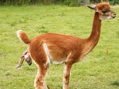 alpaca(0.0), arabian camel(0.0), animal(1.0), mammal(1.0), llama(1.0), fauna(1.0), vicuã±a(1.0), guanaco(1.0), pasture(1.0), wildlife(1.0),