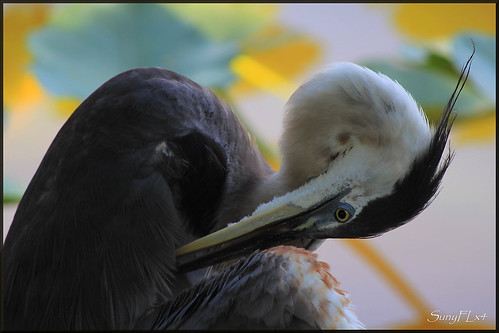 nature birds florida wildlife lakeland greatblueheron gbh