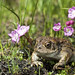 Yosemite Toad - Photo (c) Natalie McNear, some rights reserved (CC BY-NC)