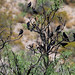 Cowbirds in Mesquite Tree by CircleRanchTx
