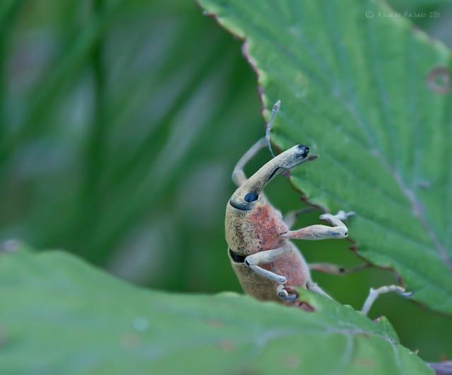 Long Nosed Weevil II