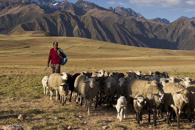 0725 maras pastore con capre