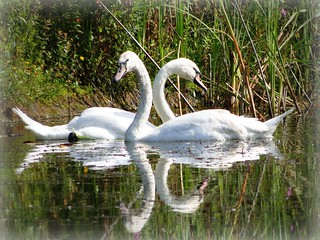 The dance of swans