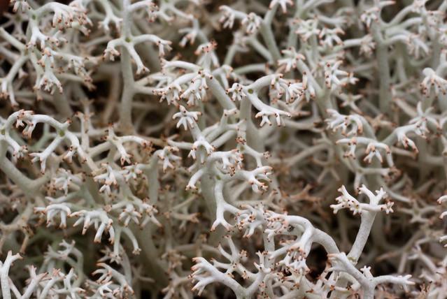 lichen - Cladonia rangiferina