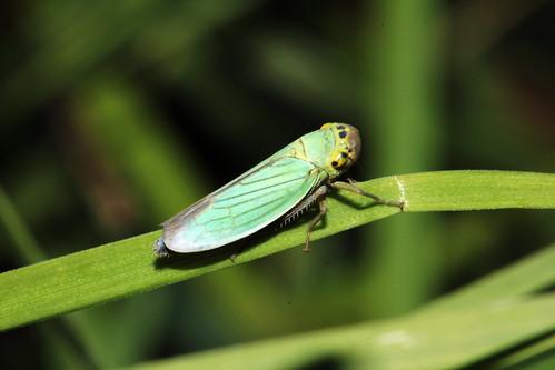 Cicadella viridis 0418