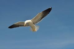 Norwegian sea-gull