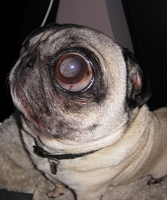 fish eye effect pug my what pretty eyes you have oh you can see her ...