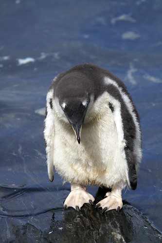 Penguin by James Simison