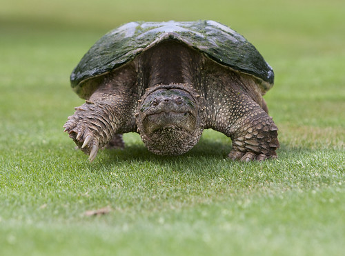 This is a Snapping Turtle