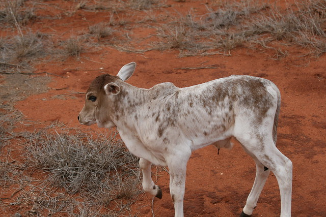A white calf with brown spots in Kenya, around Tsavo National Parks. Very dry, scrubby vegetation, and red soil.