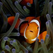 025_adj_DSC1330 love these clownfish by edpdiver