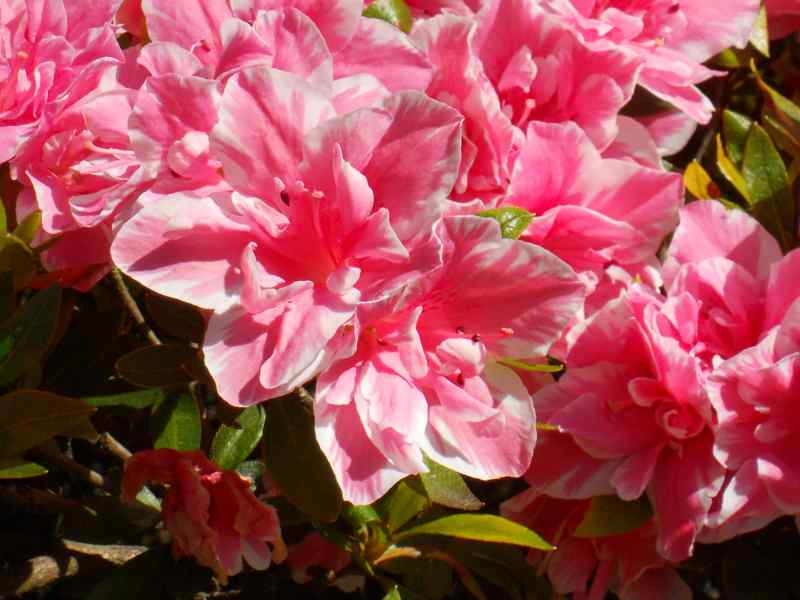 Rhododendron simsii 'De Waele's Favourite' 2
