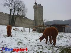 Llamas and Highland cattle, Luzern, Switzerland