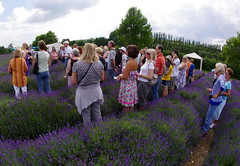 Getting the lowdown on lavender