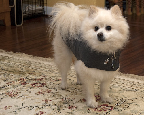 Pomeranian wearing Thundershirt
