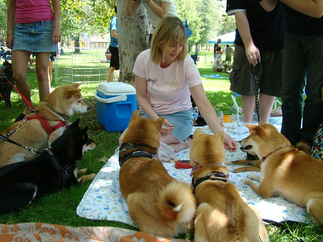 shiba treat time continues (suki joins in, gets a treat)