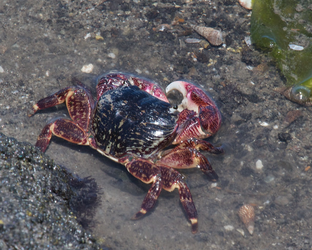 Lined Shore Crab