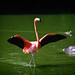 Small photo of The Flamingo Strut