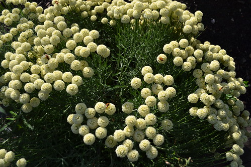 SANTOLINA pinnata ssp. neapolitana 'Edward Bowles'