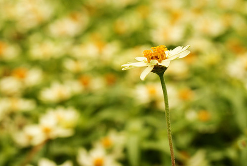 White Zinna and Bokeh