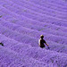 Lavender Race by Gay Biddlecombe